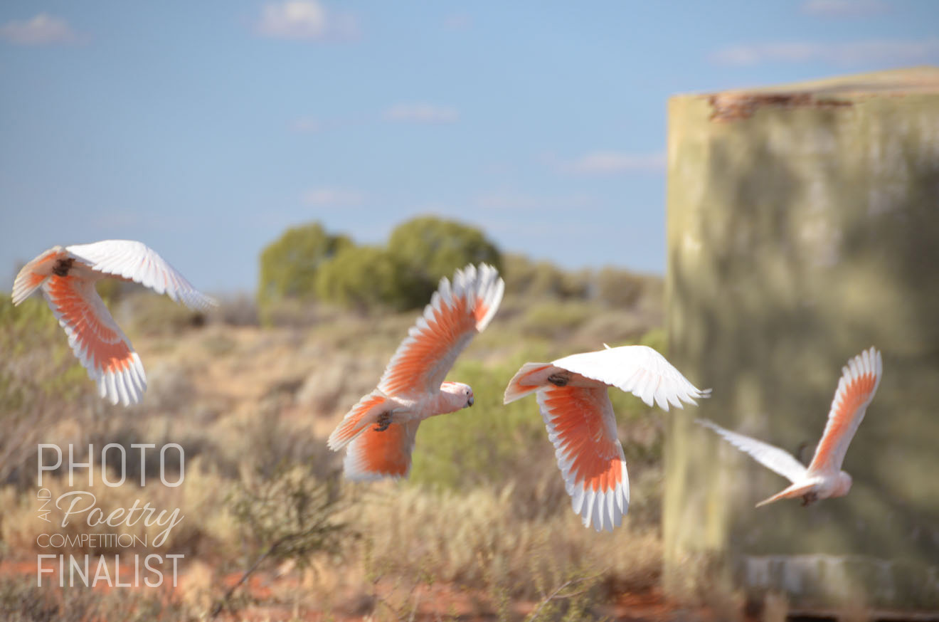 Major Mitchell Cockatoos - I snapped this photo of 'cockies' near the old school in Tarcoola, outback South Australia. The birds have an attractive plumage of salmon pink and white. Idisturbed the pretty birds from their rest upon an old water tank. Major Mitchell cockatoos live in arid and semi-arid areas of Australia. Tarcoola is situated at the railway junction for 'The Ghan' and 'Indian Pacific' passenger trains, a former gold mining, almost ghost town of 38 inhabitants. The birds added life to the sleepy, but unique and beautiful town. PAULA ALGAR, Coober Pedy, SA