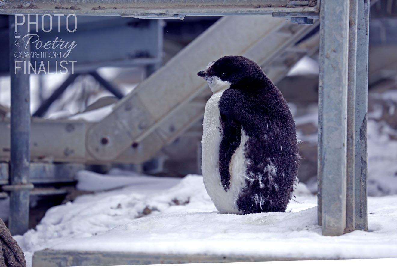 Adelie penguin - Australian Antarctic Base, Davis Station, 2019. An Adelie penguin moulting for the first time. Representing the transition from an 80+ people summer station to a 19 person winter station. This penguin is moulting outside my dorm room and I can hear it squawking from my bed. We have gone from 24 hours of light a day to twilight through some of the night hours. I will be one of the 19 people stationed here at Davis Station from December 2018 until November 2019. I am working 4838 km from home. Working here is pure remote practice and living here is possible only due to community resilience. MEG MCKEOWN, Kingston, TAS