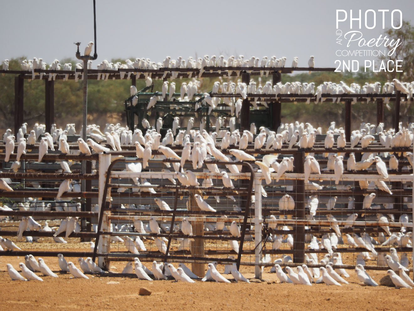 Corellas conference - A conference of corellas who came from far and wide. The 'twitter sphere' was #busy as they shared laughter and stories! They are #bettertogether creating a noise and flurry to be reckoned with. EMILY SAURMAN, Broken Hill, NSW