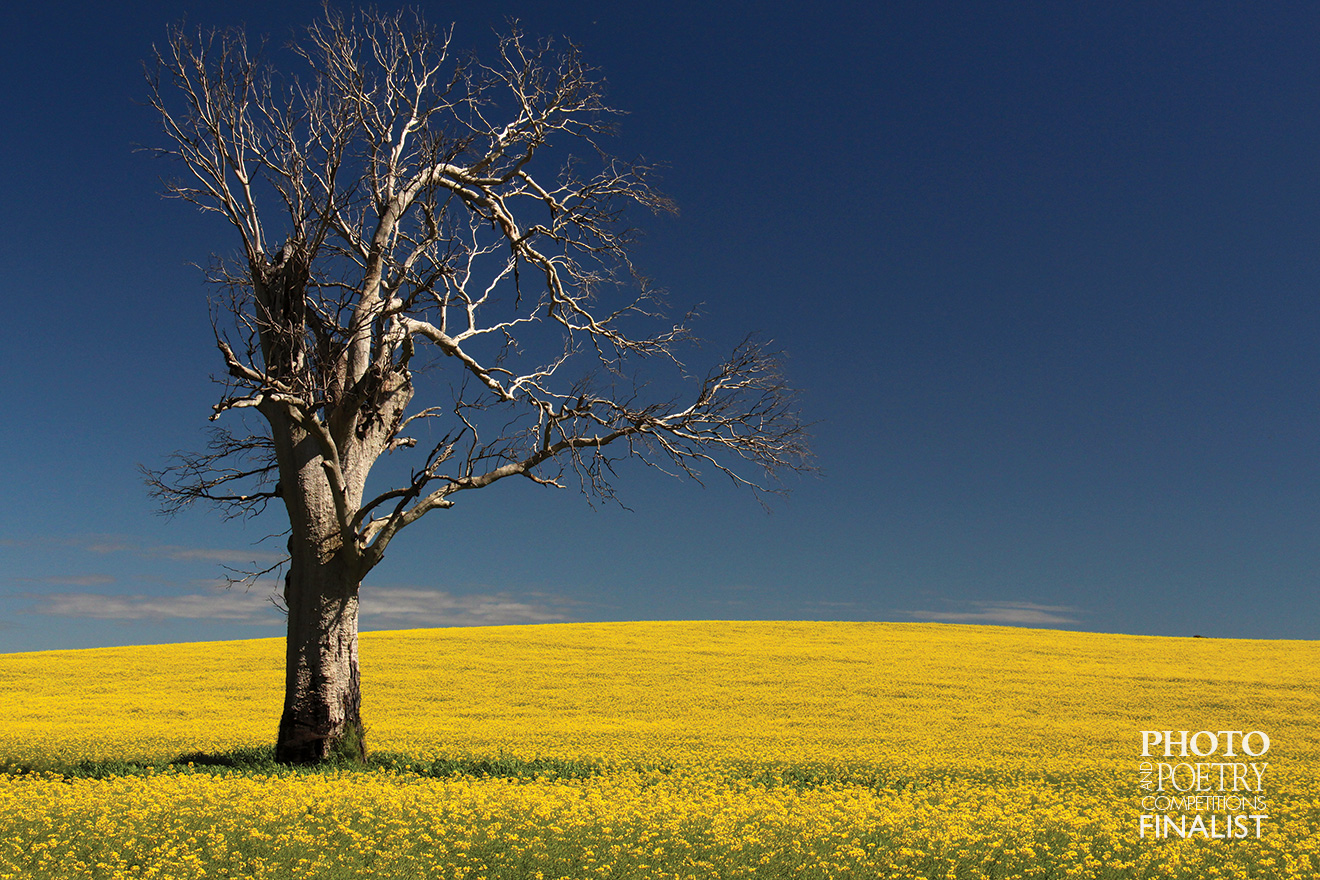 John Weathertone - A solitary tree stands tall in canola fields near Cootamundra, NSW