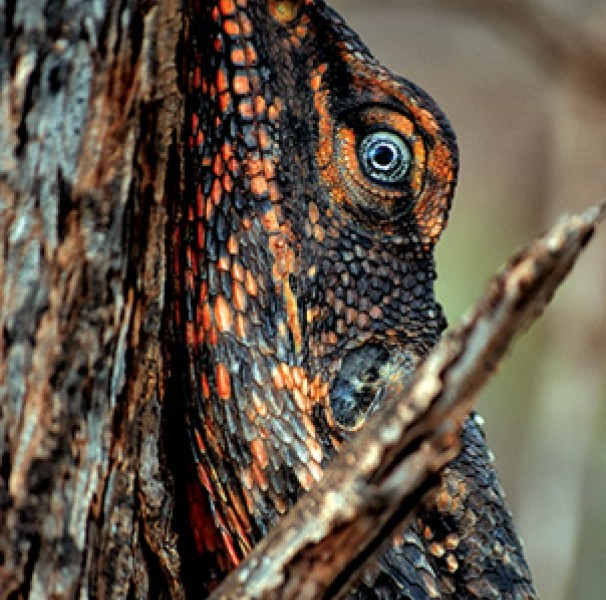 Cyrupa, Joanna - Frilled-neck lizard